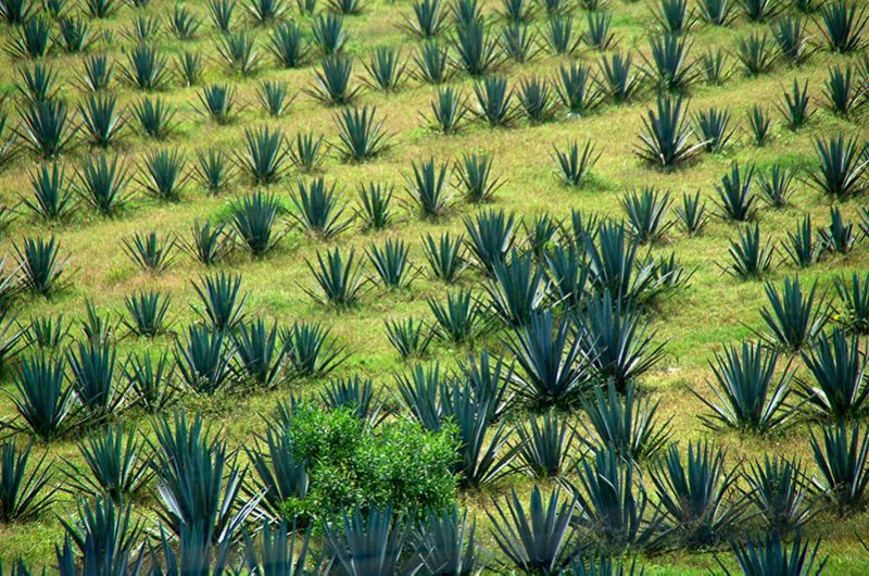 Where Pulque Comes From