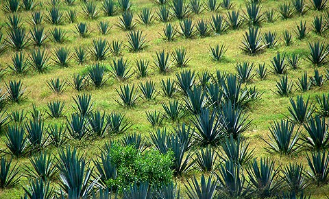 Pulque - A Mexican intriguing ancient beverage